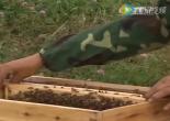 【视频】养蜂技术视频-新疆黑蜂养殖技术