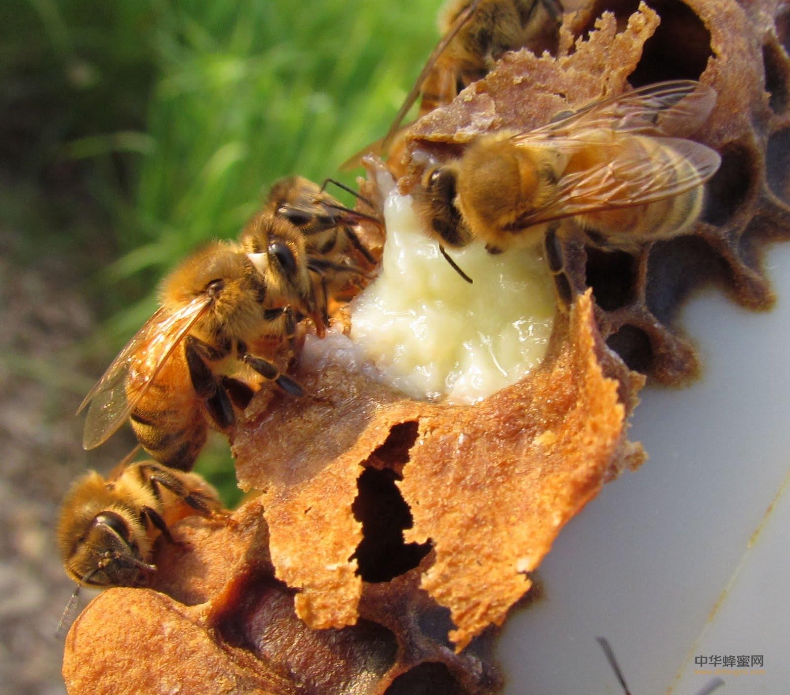 蜂王浆 蜂王浆的功效与作用及食用方法