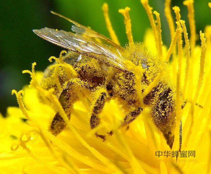 蜂花粉 花粉 蜂花粉的好坏