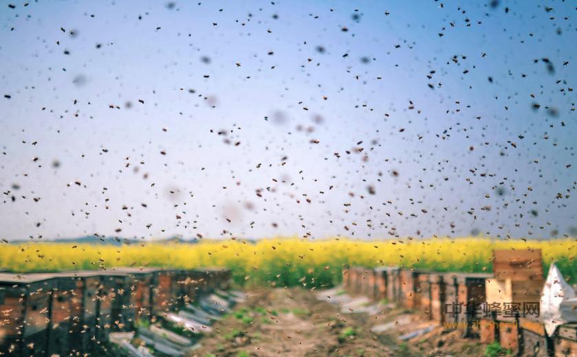 蜜蜂 中蜂 意蜂 区别