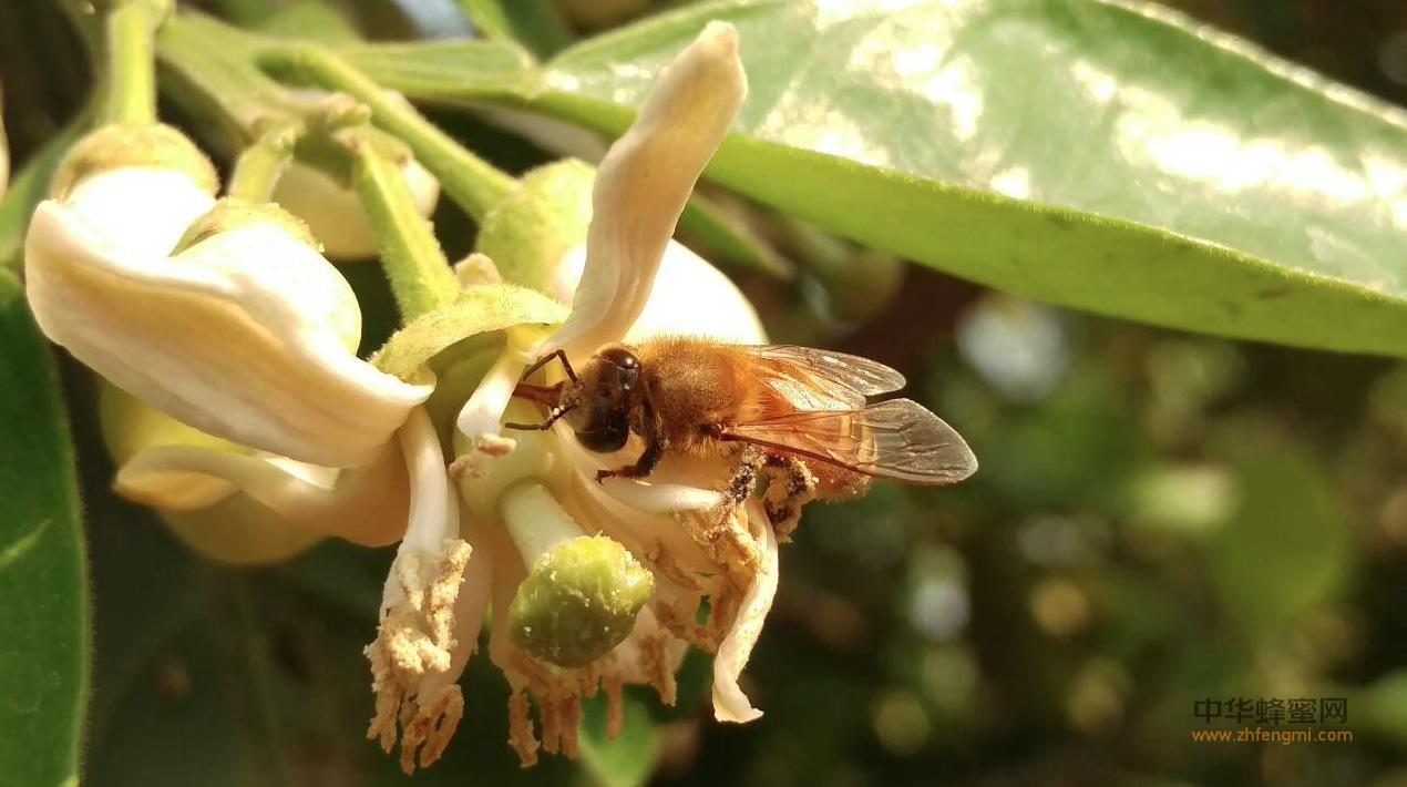 中蜂养殖 养蜂技术 蜂群 盗蜂