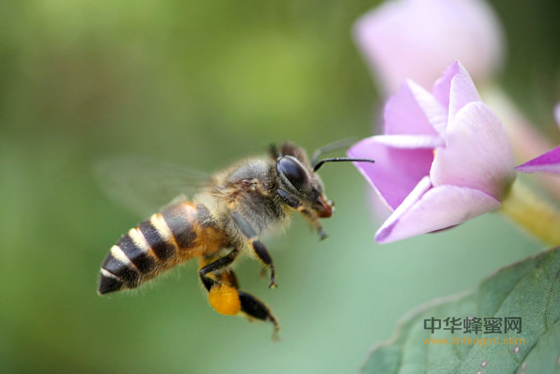 授粉昆虫 环境 生态 蜜源植物