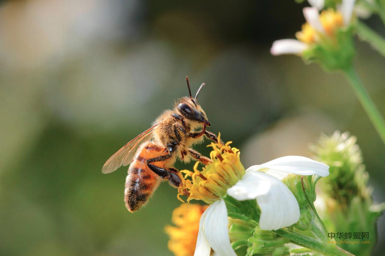 蜜蜂授粉的特性及其种类