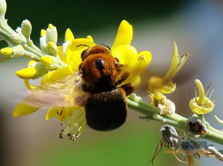 熊蜂 蜂群 蜜蜂 蜜蜂养殖