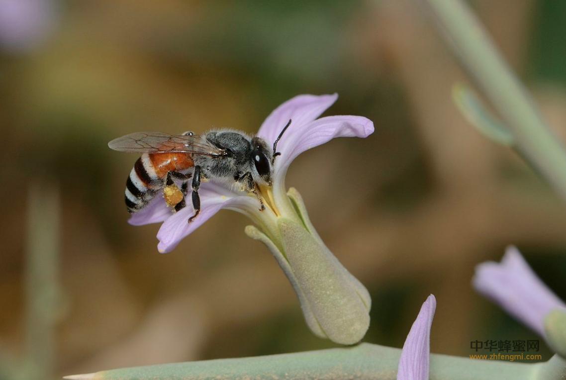 小蜜蜂 授粉 蜜源 繁殖