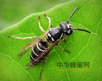 蜜蜂 地蜂 授粉 人工饲养