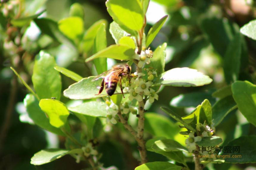 蜜蜂 授粉 农作物 毒性