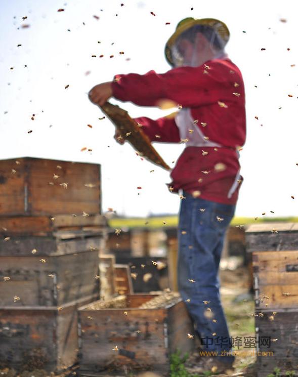 养蜂 蜂场 盗蜂 蜂箱