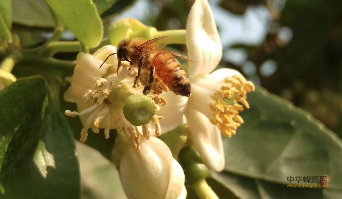 蜜蜂养殖 春季管理 蜜蜂群势