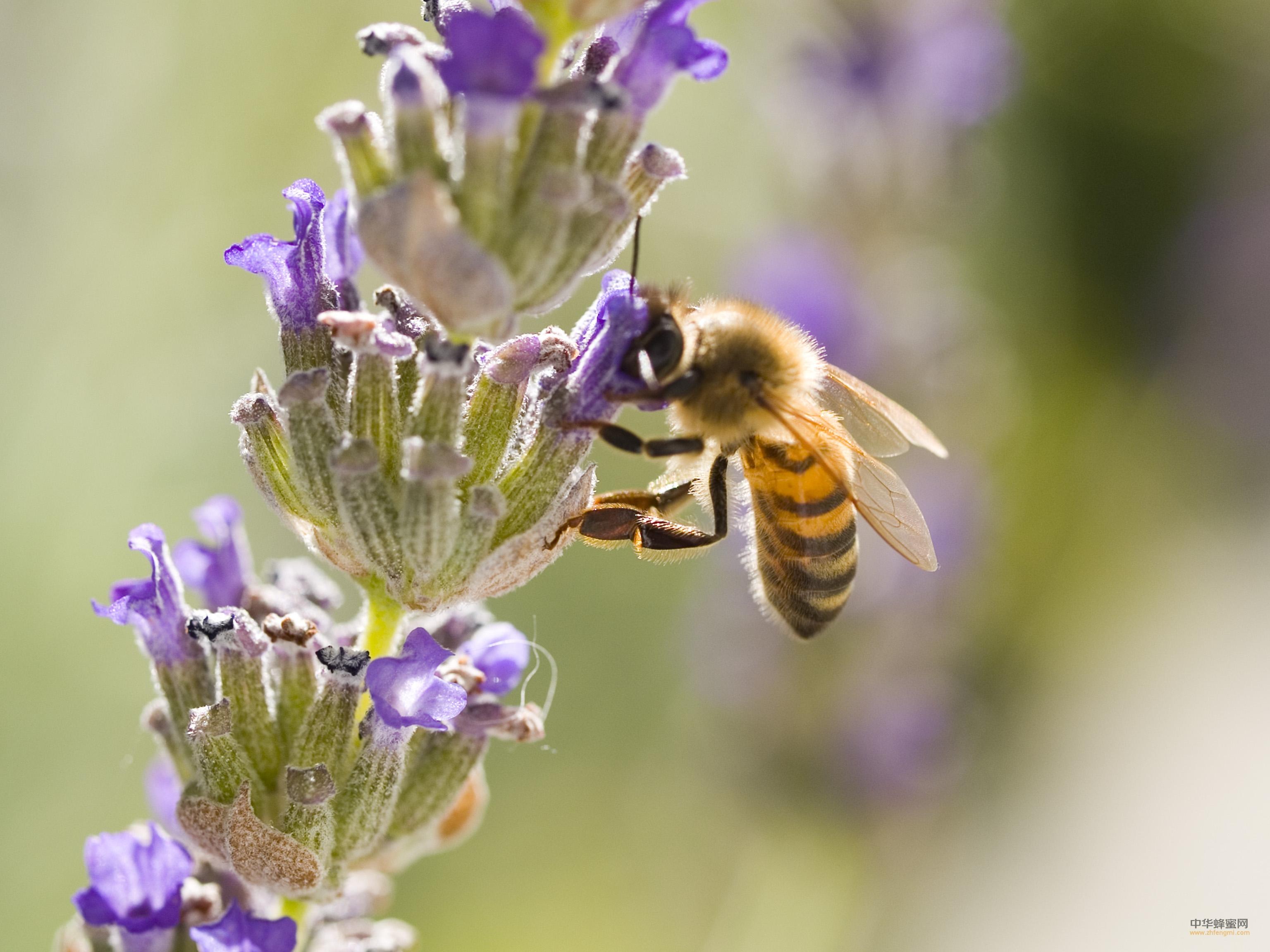 蜜蜂 养蜂技术 分蜂热 育王