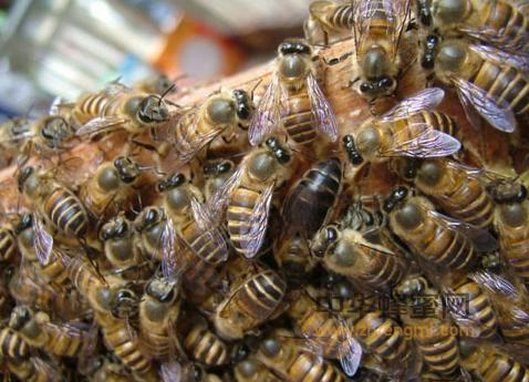 蜜蜂养殖 养蜂技术 蜂蜜 饲料