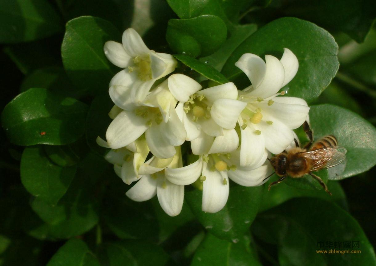 蜂群 柑橘授粉 蜂群管理