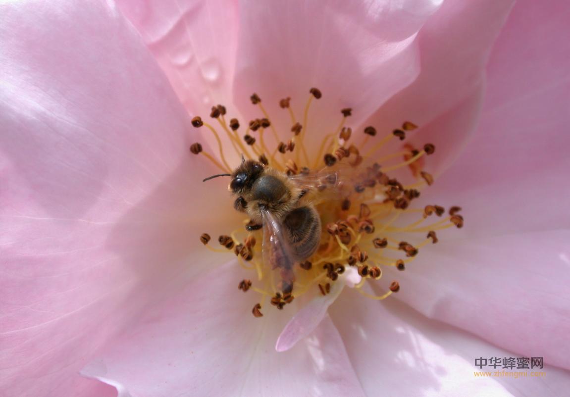 猕猴桃 蜜蜂 实例