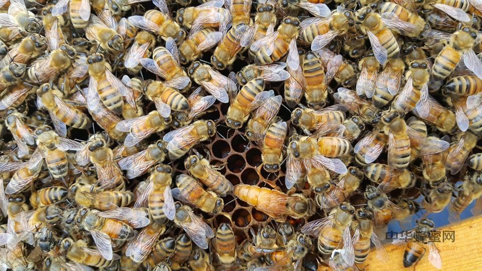 蜜蜂 病虫害 防治 美洲幼虫病