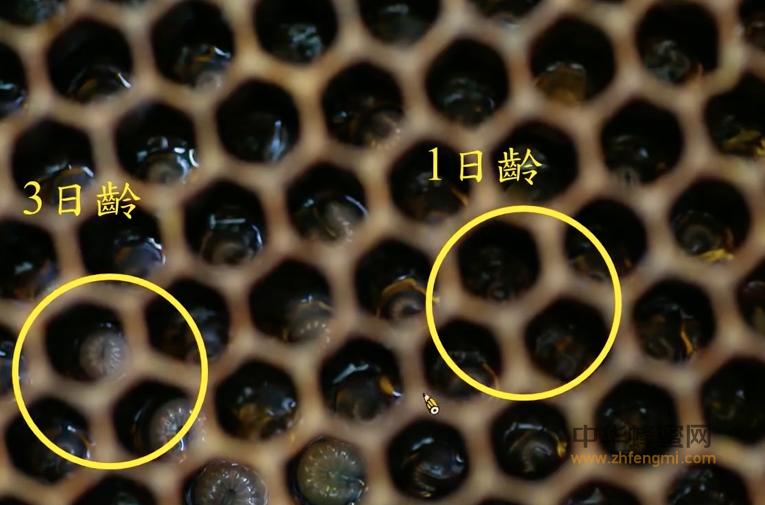 蜜蜂 蜂王卵巢黑变病 病虫害