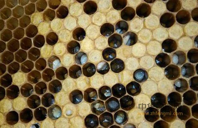 蜜蜂 中蜂 囊状幼虫病