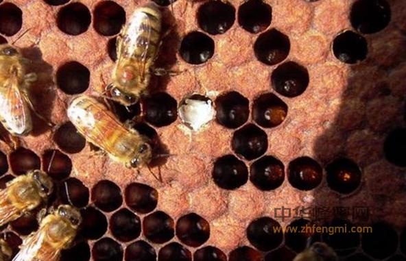 蜜蜂 蜜蜂养殖 病虫害 麻痹病