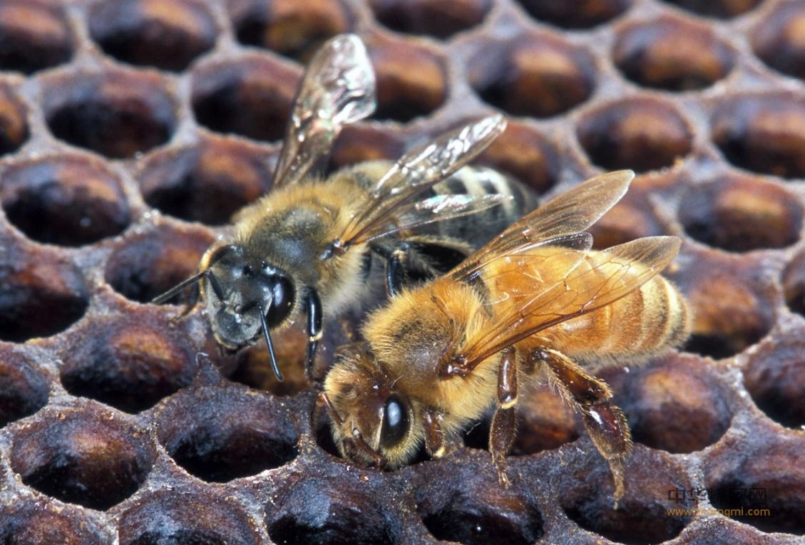 蜜蜂养殖 病虫害 疾病传播