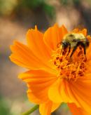 甜椒熊蜂授粉增产实例