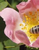 番茄熊蜂授粉增产实例