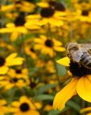 西瓜壁蜂授粉增产应用实例