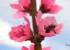 蜜蜂 授粉 桃园 熊蜂