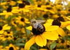 蜜蜂授粉 西瓜授粉 养蜂