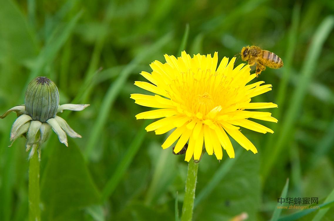 蜜蜂 病虫害 鞭毛虫