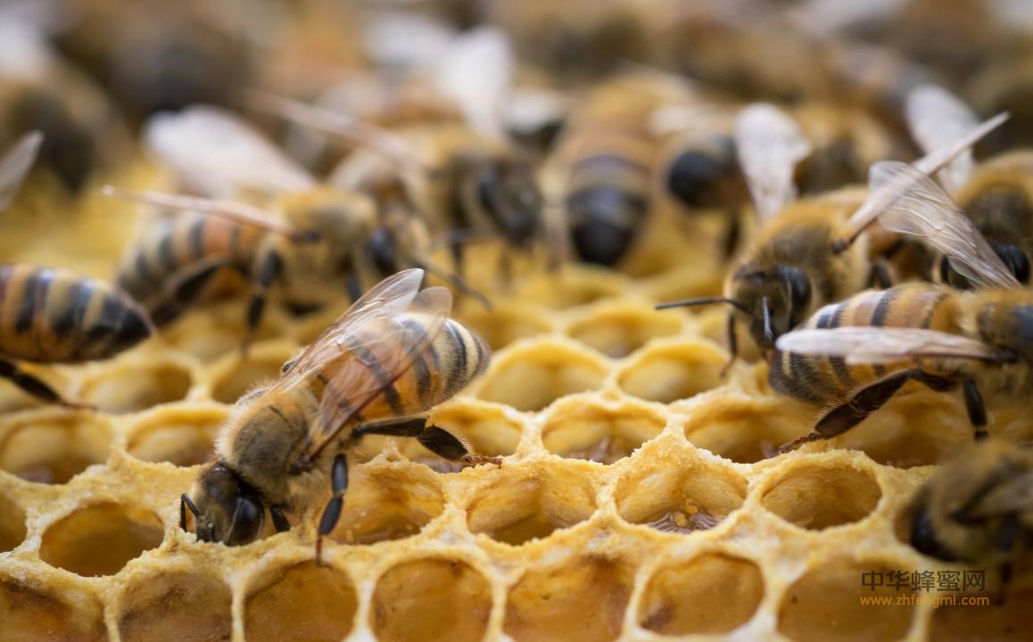 蜜蜂养殖 病虫害 分布危害