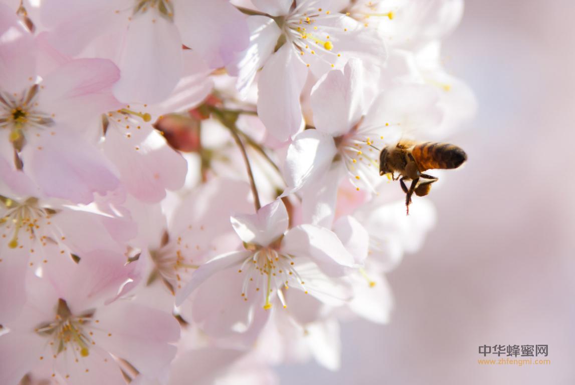 蜜蜂 病虫害 小蜂螨 特征