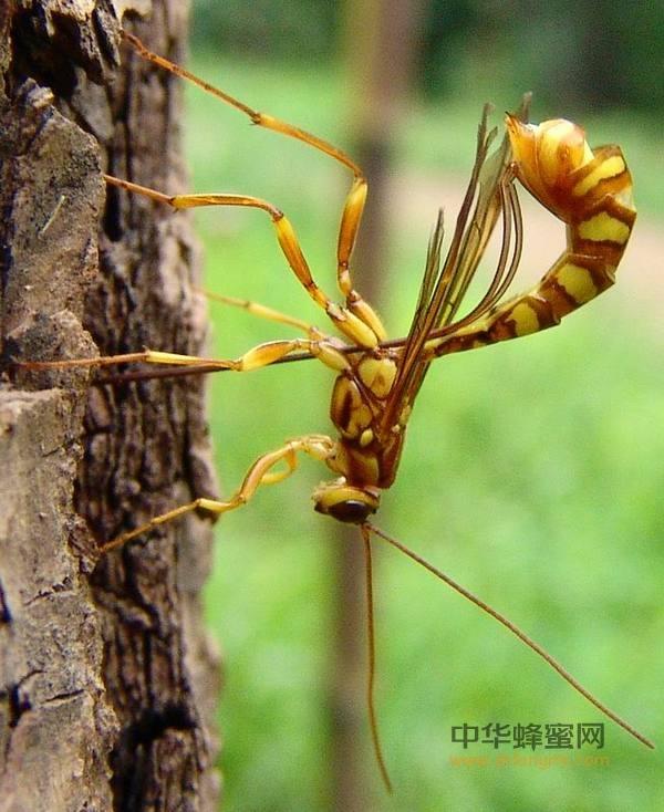 蜜蜂 寄生性 昆虫