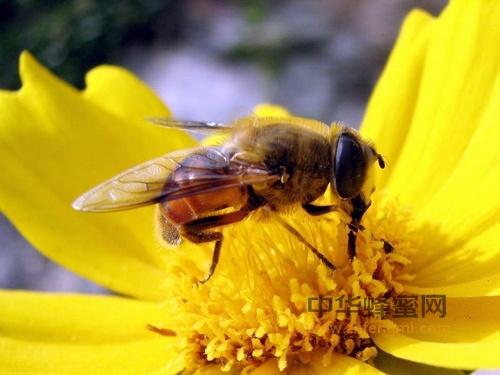 病害 蜜蜂 非传染性