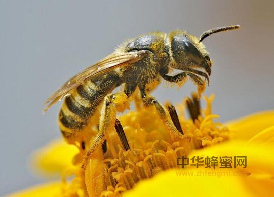 蜜蜂 非传染性病害 遗传病