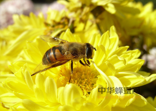 蜜蜂 嵌合体 雌雄嵌合体