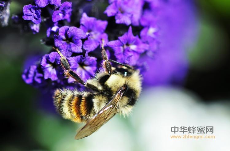 蜜蜂 蜜蜂病虫害 死卵病