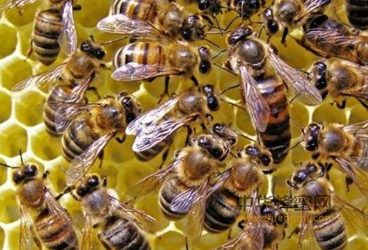 蜜蜂病虫害 蜜蜂 外蜂盾螨 背蜂盾螨