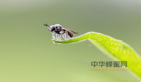 敌害 蜜蜂 双翅目 食虫虻科