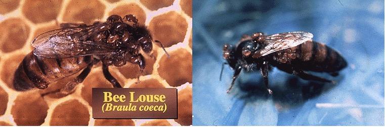 蜜蜂 敌害 蜂虱绳科