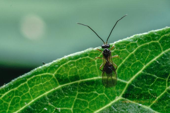 蜜蜂 敌害 中华绒茧蜂