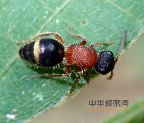 敌害 蜜蜂 蚁蜂