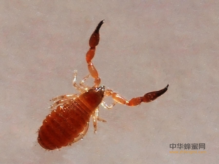 敌害 蜜蜂 伪蝎