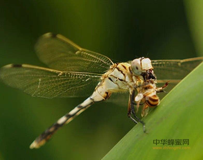 蜜蜂 敌害 杂食性蜜蜂捕食者