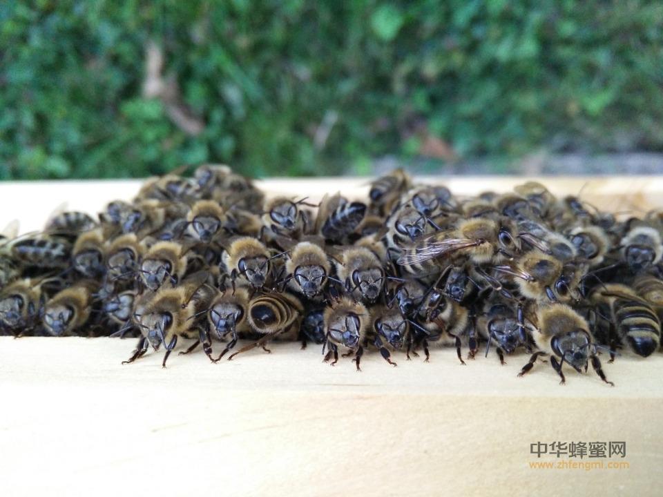 蜜蜂病害 敌害防治 抗病育种思路