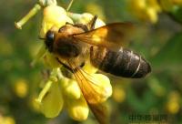 蜜蜂病虫害药物防治的重要性