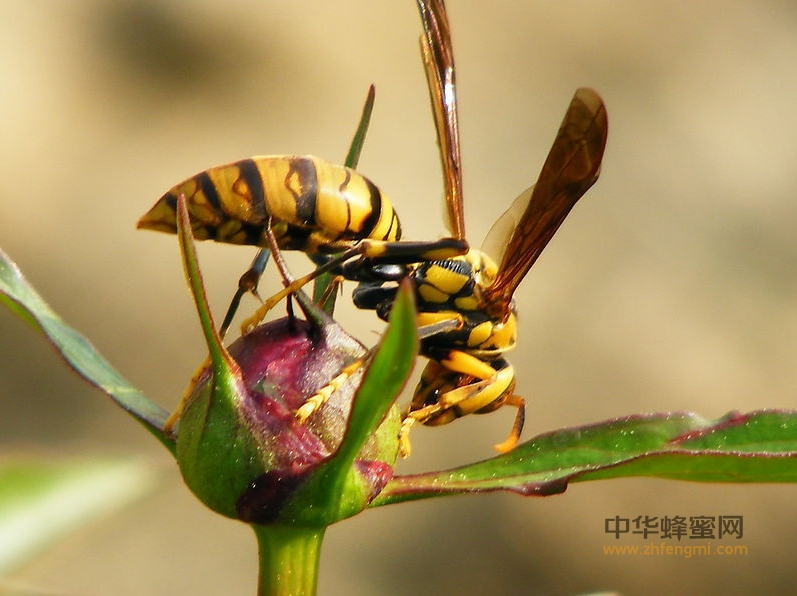 敌害 蜜蜂 胡蜂