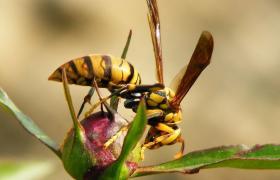 蜜蜂敌害的防治之胡蜂
