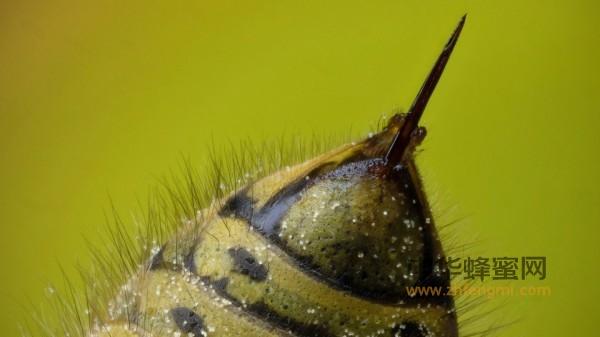 蜂毒 禁忌症 疗法