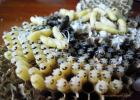 雄蜂 来源 蜂蛹