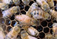 蜜蜂幼虫应用于食品
