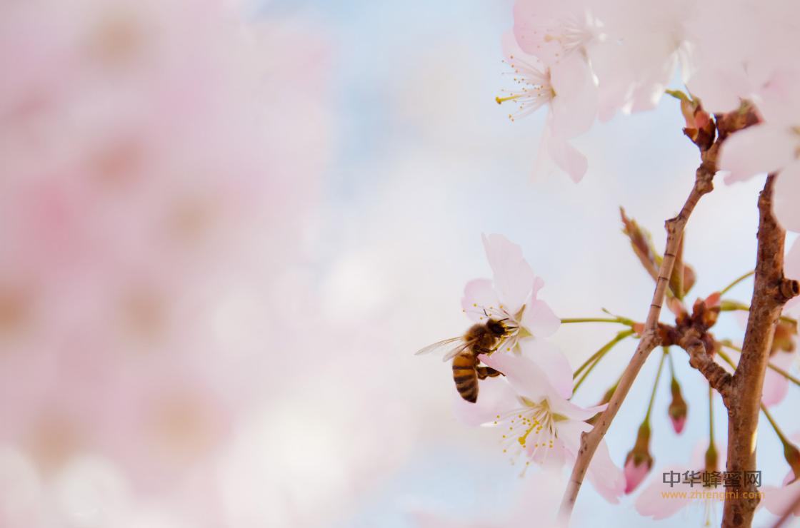 七旬老人 养蜂人 养蜂技术 养蜂致富 东方蜜蜂